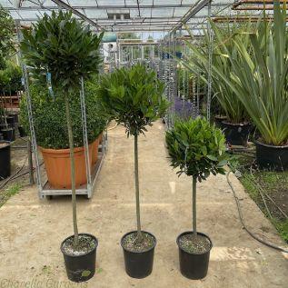Bay Tree Standards 3 Stem Sizes 40-45cm Head.