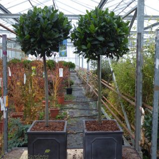 Potted Bay Trees 1/2 Standard Bay Trees Head Size 35/40cm. 32cm Chelsea Terrace Planter