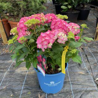 Large Hydrangea Endless Summer Summer Love 15 Litre pot.