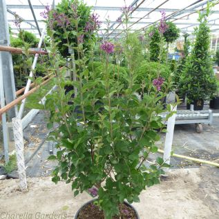 Boomerang Lilac Tree Dark Purple - 10 Litre