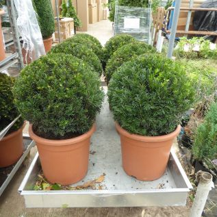 Taxus Baccatta Topiary Balls English Yew - Upto Seven Size Options.