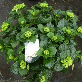 White flowering Hydrangea Macrophylla With Mophead Flowers - 5 Litre.