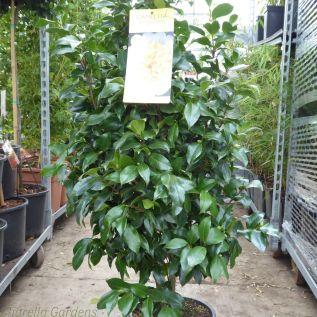 Large Yellow Camellia Plants 10 Litre Pot - Jurys Yellow