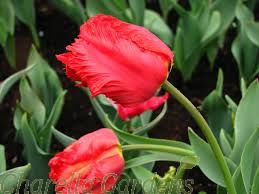 Extra Large Parrot Tulips Mixed Colours x15
