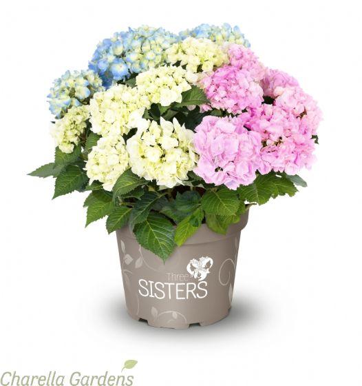 Hydrangea Three Sisters Pastel