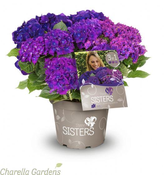 Hydrangea Three Sisters Purple