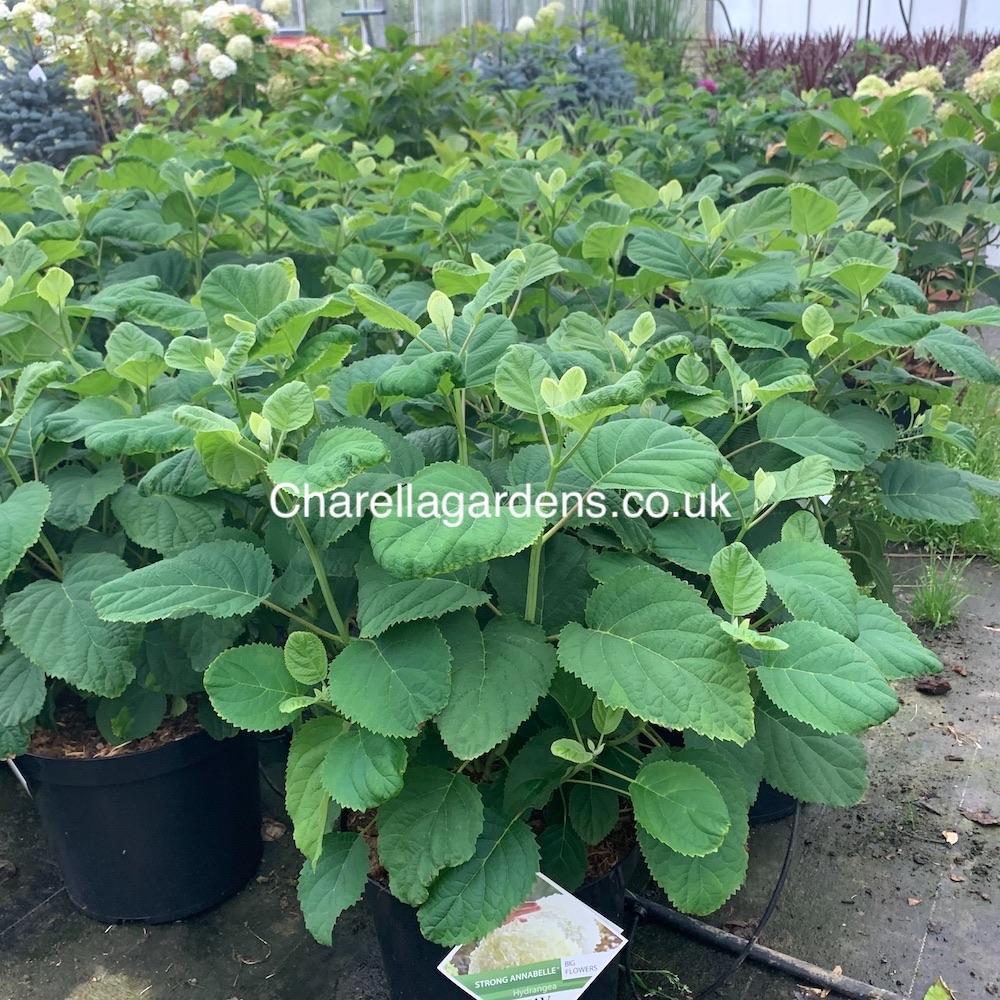 Hydrangea Strong Annabelle AKA Hydrangea Incrediball. 12 Litre