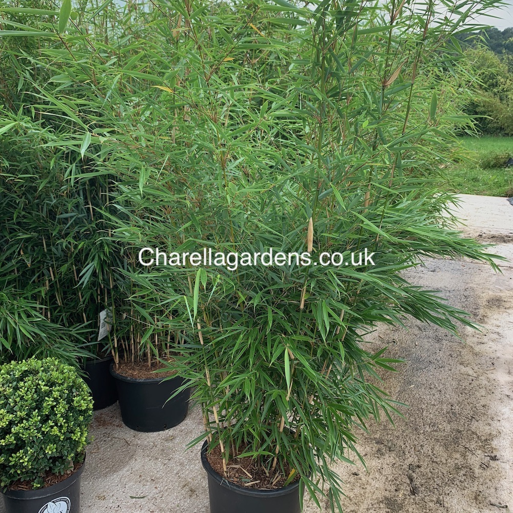 Bamboo Fargesia Robusta Campbell 20 Litre