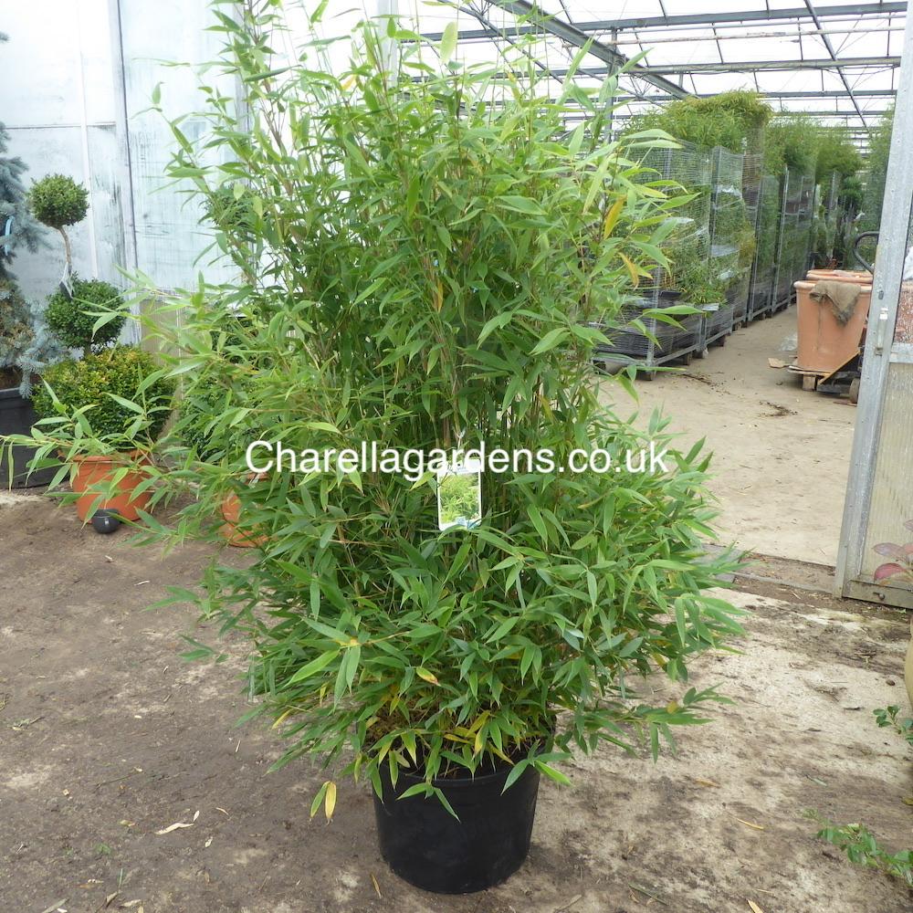 Bamboo Fargesia Simba - Extra Large