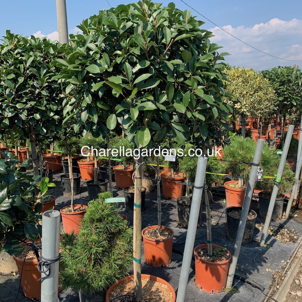 Hand Picked Large Head Standard Photinia