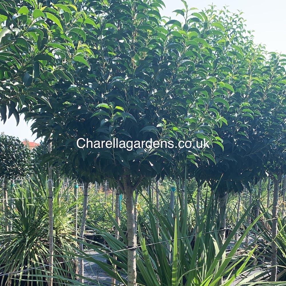 Prunus Lusitanica Angustifolia 125cm Stem
