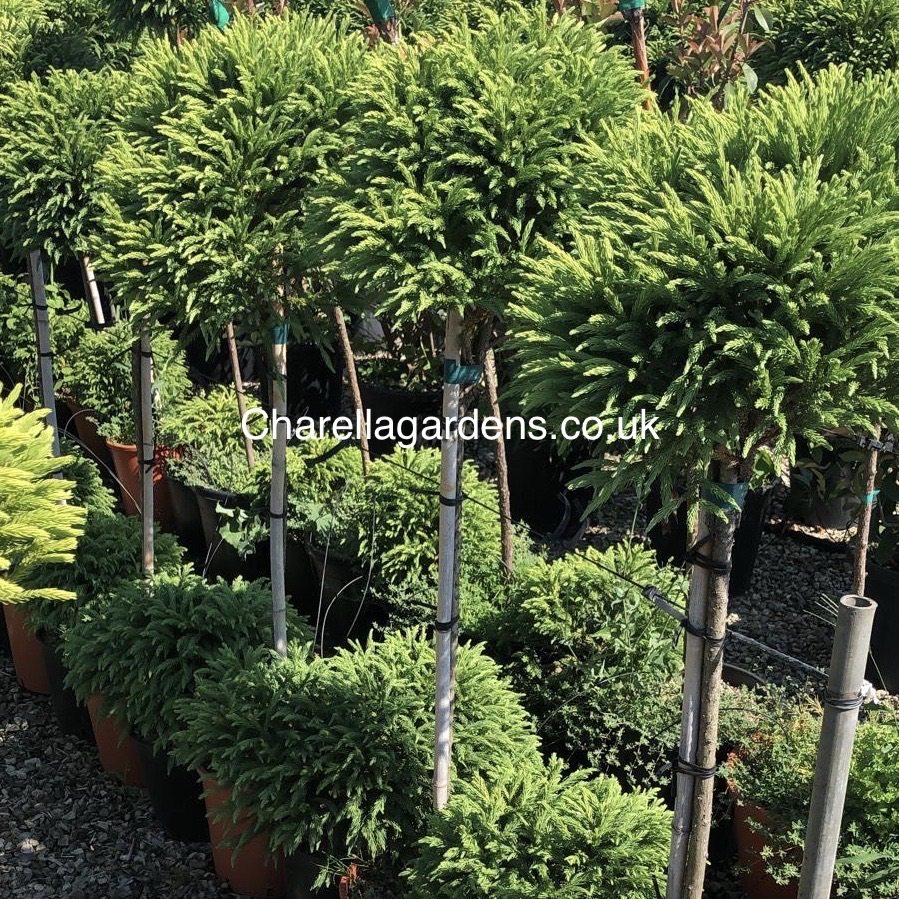Our Cryptomeria Selection