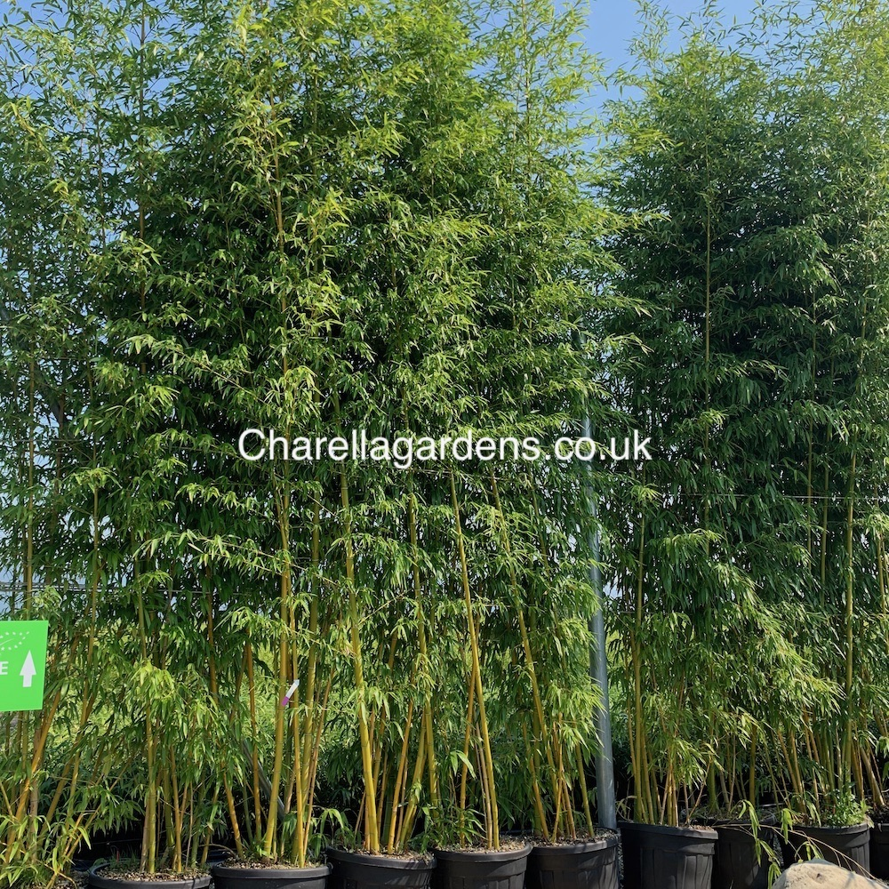 Giant Golden Bamboo 5/6m £225.00 by request only