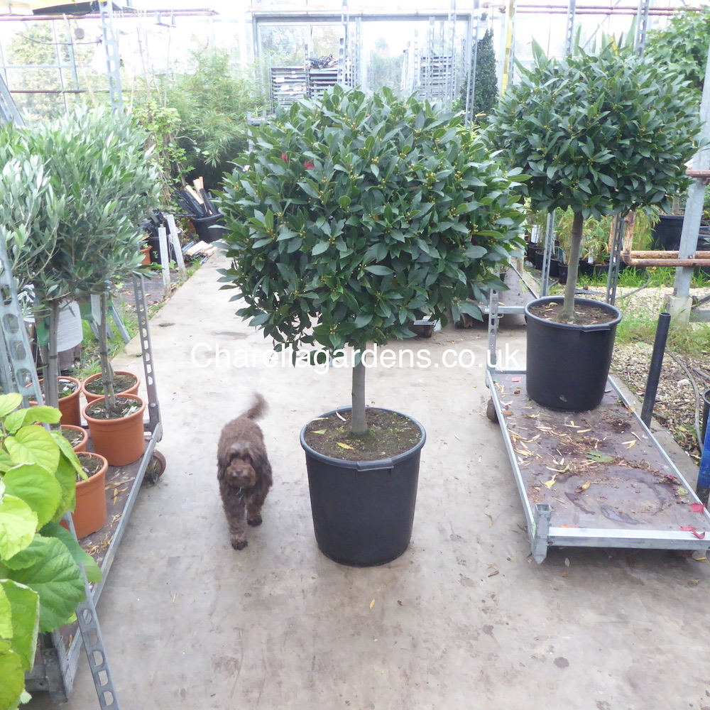 Large Head 1/2 Standard Bay Tree