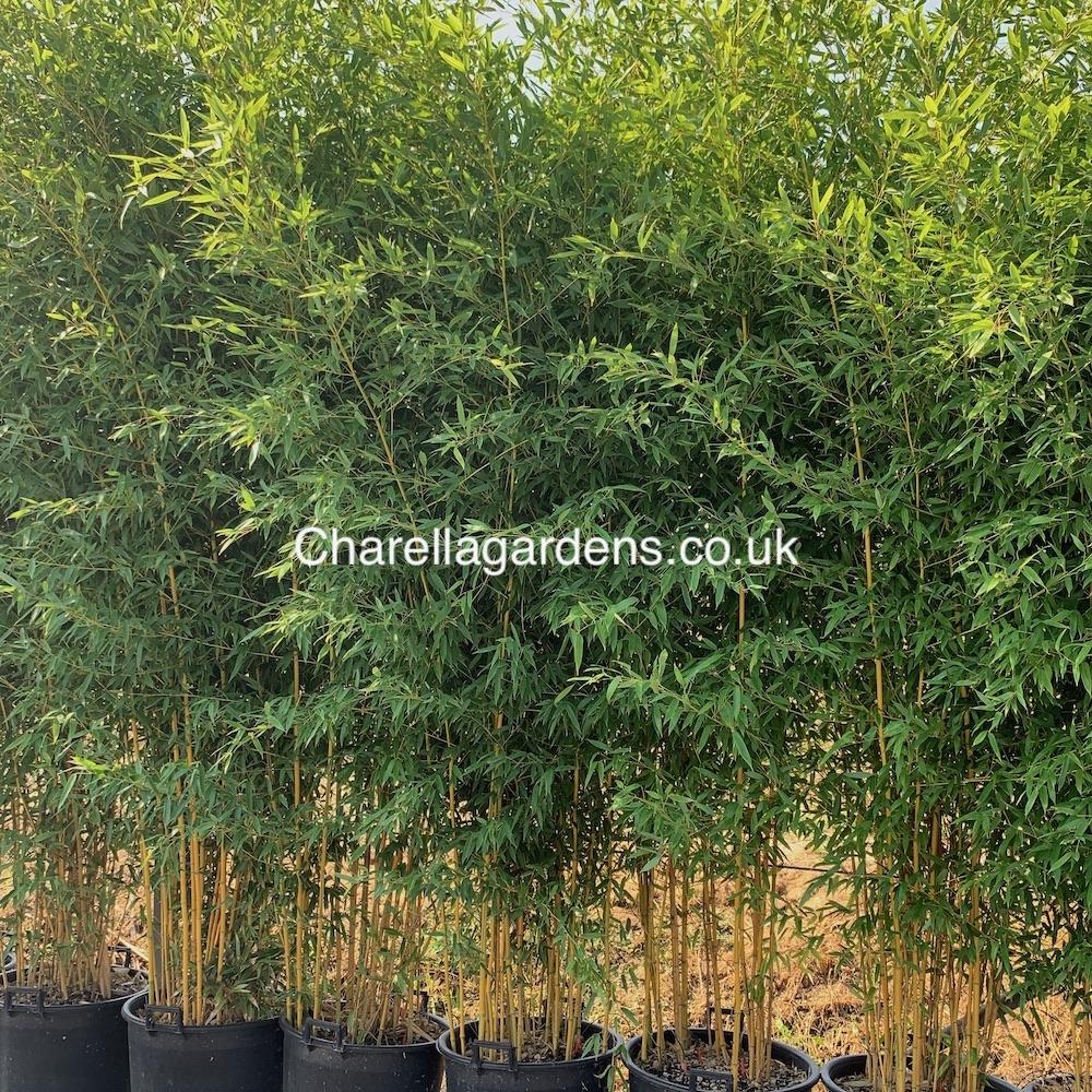 Bamboo Spectabilis 3 Metres. 75 Litre
