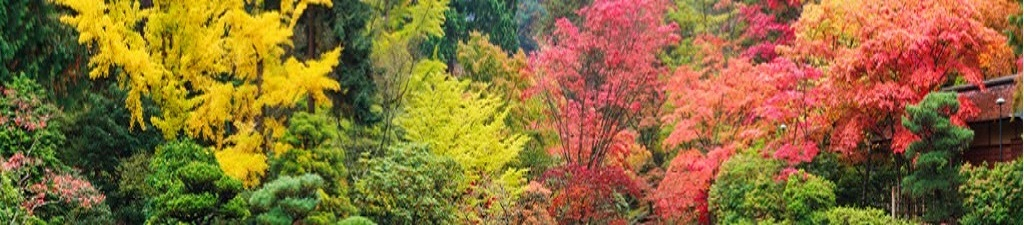 Acer Trees - Japanese Maples